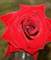 Rose, Black Magic-CA
