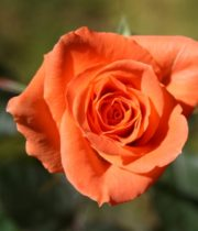 Rose Sweetheart, Chelsea-CA