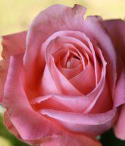 Rose, Cinderella-CA
