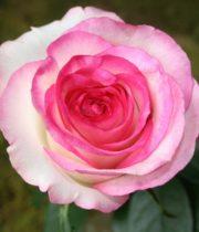 Rose, Dolce Vita-CA