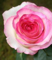 Rose, CA-Dolce Vita-white/pink
