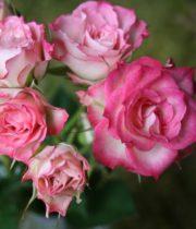 Rose Spray, Electra-CA