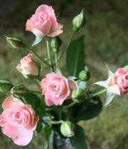 Rose Spray, Fleur-CA