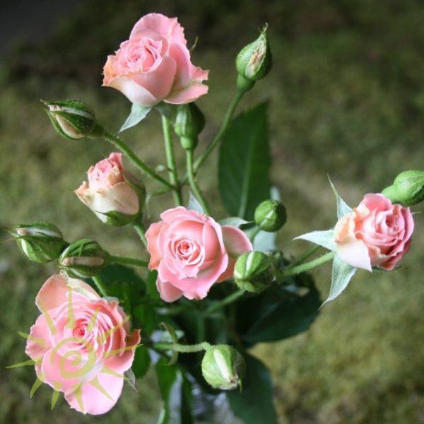Rose_Fluer