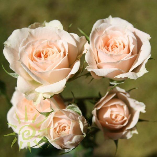 Rose_Jana