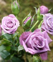 Rose Spray, Lavender Follies-CA
