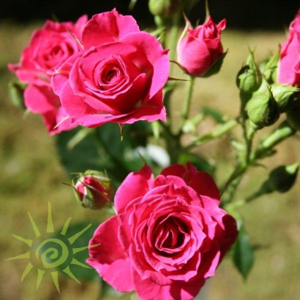 Rose_Lovely-Lydia