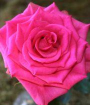 Rose, Marina-CA