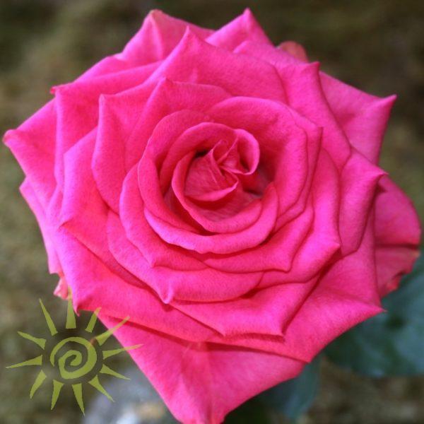 wholesale flowers | rose marina