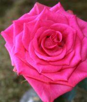 Hot Pink Marina Roses, CA