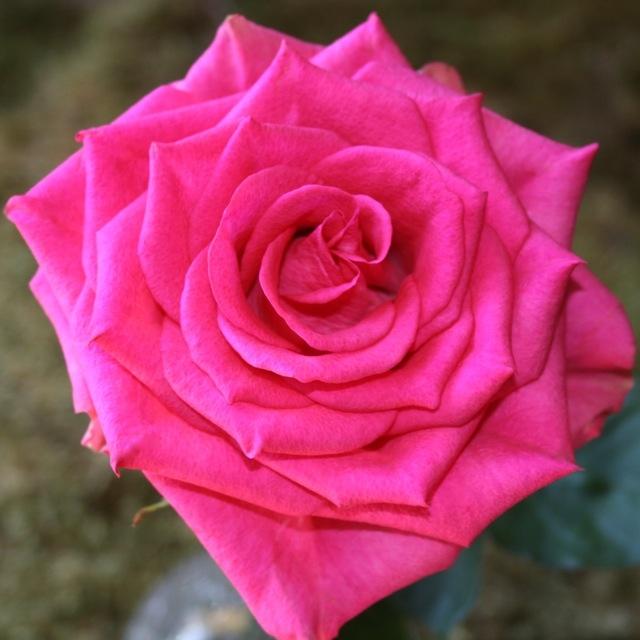 wholesale flowers   rose marina