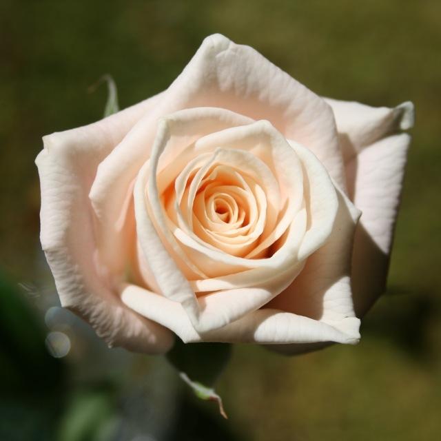 Rose_Medeo