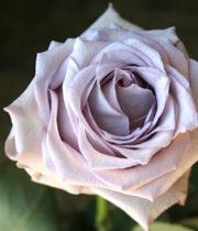 Rose, CA-Pacific Blue-lavender