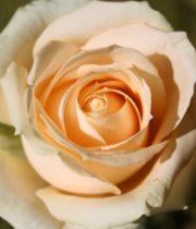 Rose, Peach Avalanche-CA