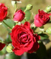 Rose Spray, Red Angel-CA