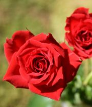Rose Spray, Red Mikado-CA