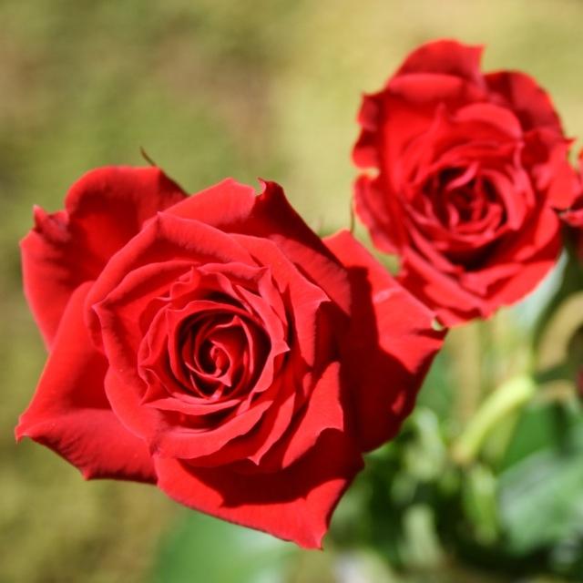 Rose_Red-Mikado