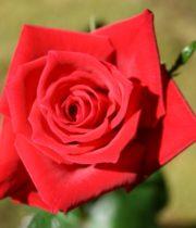 Rose Sweetheart, Sacha-CA