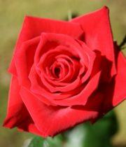 Burgundy Sacha Sweetheart Roses, CA