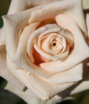 Rose, Sahara-CA