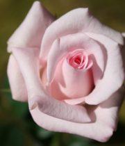 Pink Sweet Akito 50cm Roses, SA