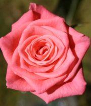 Rose Sweetheart, Tangelo-CA