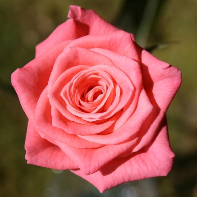 Rose_Tangelo