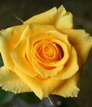 Rose, Tara-CA