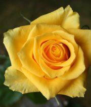 Yellow Tara Roses