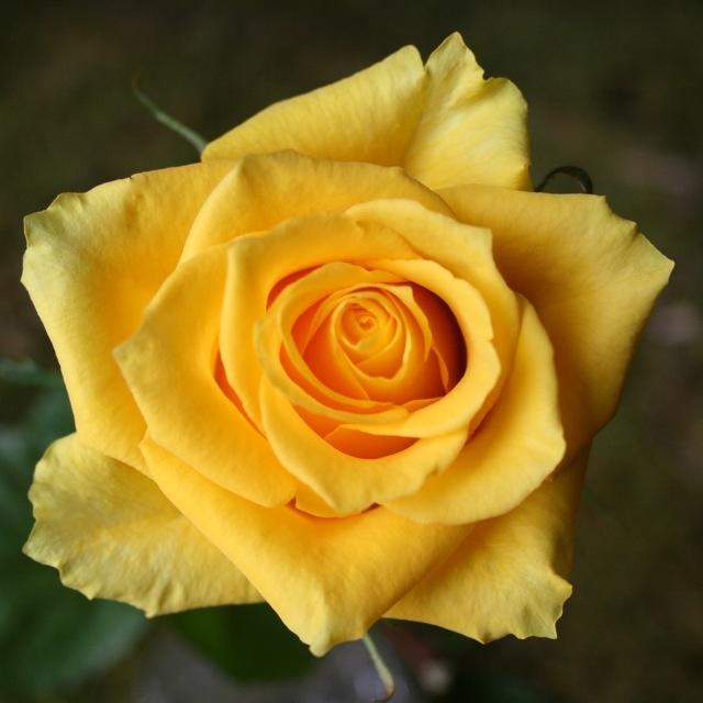 wholesale flowers | rose tara