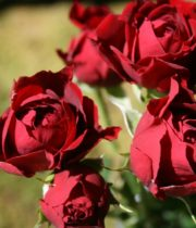Rose Spray, Tomango-CA