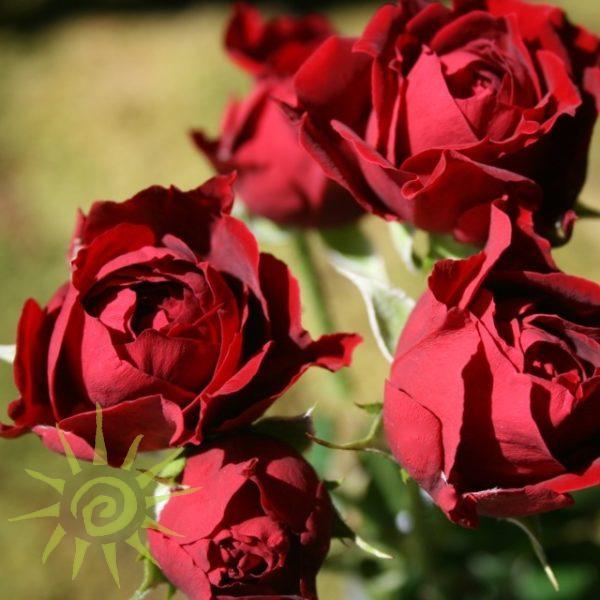 Rose_Tomango