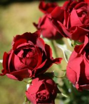 Burgundy Tomango Spray Roses, CA