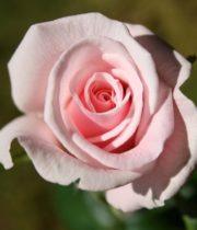 Rose Sweetheart, Valerie-CA