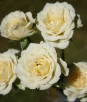 Rose Spray, Vanilla Bouquet-CA