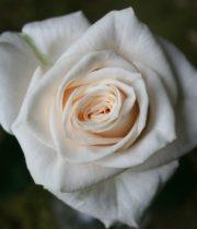 Rose, Vendela-SA