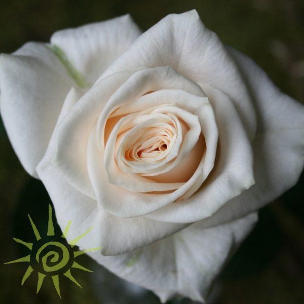 wholesale flowers | rose vendella