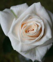 Vendela Roses Cream