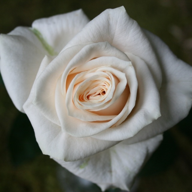 wholesale flowers   rose vendella