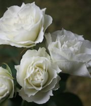 Rose Spray, Vivianne-CA