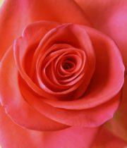 Rose, Wow-CA
