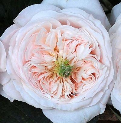 wholesale flowers | garden rose charity