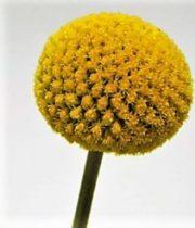 Craspedia, Yellow
