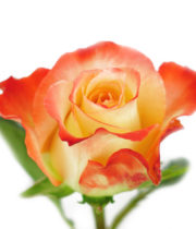 Rose, Cabaret-SA