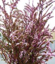 Calycina-pink