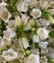 Campanula-white