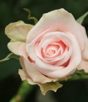 Rose, Candy Bianca-light Pink