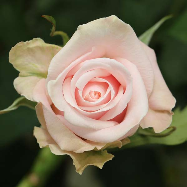 Candy Bianca Roses
