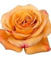 Rose, Capriccio-SA