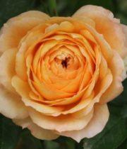 Rose Garden, Caramel Antike-CA